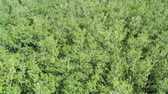 rubber plant : Aerial fly over of rubber plantation in Thailand. Aerial View of Green forest rubber plantation. Aerial shot of tropical forest with green trees.