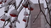 inscrição : Rowan in the snow on a background of snow and the high-rise buildings Stock Footage