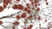 inscrição : Bunches of red mountain ash berries with green leaves under the snow Stock Footage