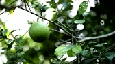 toranja : green pomelo on the trees with bokeh background
