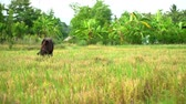 fornecer : Farmers interpret cow in the field after harvesting to provide food
