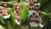 branches : Flowers of orchids of brown color close up, Blooming of orchid Stock Footage