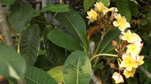 Group of yellow Frangipani flowers in natural light Stock Footage