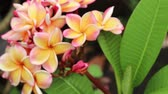 листья : Plumeria, Frangipani Flowers in natural light, Backgrounds