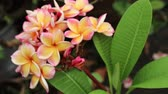 Plumeria, Frangipani Flowers in natural light, Backgrounds