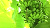 Banana tree in natural light, Nature background Stock Footage