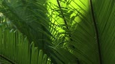 gota de orvalho : Closeup of Cycads leaves and wind in natural light Vídeos