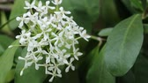 siyam : Siamese white ixora flowers in natural light