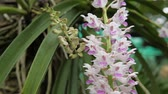 orkideler : Epidendrum retusum L. or Rhynchostylis retusa (L.) Blume, Beautiful orchids