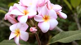 padrão floral : Pink plumeria, frangipani flowers in natural light Stock Footage