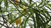 орешки : Trumpet Flower, Yellow Campanilla, Yellow Oleander, Lucky Nut in natural light
