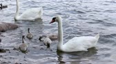 pintos : A family of swans with four small chicks are swimming in a pond. Vídeos