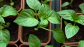 tencere : Seedling of pepper grows in brown pots. View from above. Macro shot. Stok Video