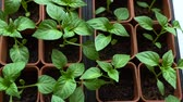 garnek : Seedling of pepper grows in brown pots. View from above. Slow motion.