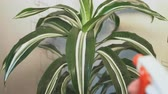 tencere : The flower grower sprinkles water on the leaves of the dracaena plant with a sprayer. Dracaena fragrans.