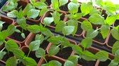 window gardening : Fertilizing pepper seedlings in containers. Soluble fertilizers are dissolved in water and applied as a solution. Stock Footage