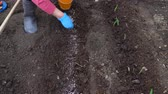 suplemento : A woman adds a complex fertilizer to the soil before planting the gladiolus bulbs.