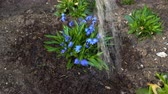 soğanlı : The gardener is watering the scilla flower on the garden bed.