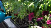 tencere : Gardener produces watering of tomato seedlings in a greenhouse.