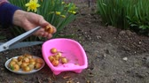 пожилые : A woman gardener prepares bulbs of onions for planting. In the background flowers of daffodils.