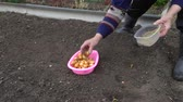 пожилые : A woman gardener planting bulbs of onions in the soil in the garden.