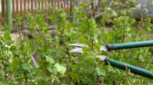 black currant : Pruning of black currant bushes in the spring.