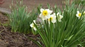 전구 : A strong wind blows on the daffodils growing in the backyard. 무비클립