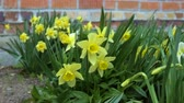 ziegel : A strong wind blows on the daffodils growing in the backyard. Stock Footage