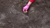 клубень : A woman gardener is planting potato tubers into the soil. Стоковые видеозаписи