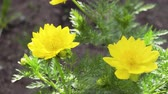 quintal : Yellow flowers of adonis grow in the backyard.