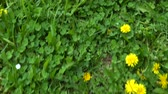 hızlı : An imaginary person walks the field with blooming dandelions. Fast motion. Stok Video