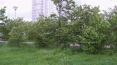 whirlwind : A strong wind in the city park shakes the trees before the rain. Stock Footage