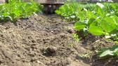 quintal : A gardener uses a motor cultivator to hilling potatoes. Stock Footage