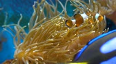 falso : Orange clownfish. Amphiprion percula swims between the tentacles of the sea anemone. Close up. Filmati Stock