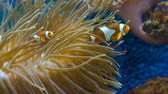 clownfish : Orange clownfish. Amphiprion percula swims between the tentacles of the sea anemone. Close up. Stock Footage