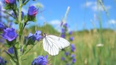 eudicots : Field plants. Aporia crataegi butterfly sits on the flower of vipers bugloss (Echium vulgare). Stock Footage