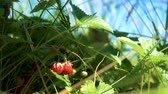 toplamak : The fingers of the picker pick the fruits of wild strawberries growing in the field. Stok Video