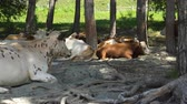 toro : A herd of cows on the sandy shore of a mountain river in the shade of a tree. Archivo de Video