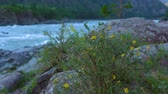 natürliche schönheit : Shrubby cinquefoil (Dasiphora fruticosa) grows next to a mountain river.
