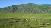 scène rurale : A large herd of sheep grazing on a field in the mountains.
