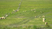 scène rurale : A large herd of sheep grazing on a meadow next to a dirt road. Vidéos Libres De Droits