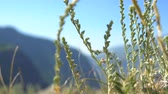 huzur : The grass of wormwood waving in the wind in the mountains against the background of a blurred blue sky.