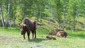 wisent : European Bison in conditions of a Reserve among birch trees.