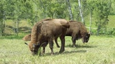 bizon : European Bison in conditions of a Reserve among birch trees.