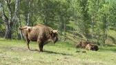 boynuzlu : European Bison in conditions of a Reserve among birch trees.