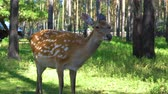 nippon : Spotted deer (Cervus nippon) is on a green meadow in the zoo.