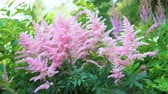 falso : Pink Astilbe flowers sway in the wind in the public city park.