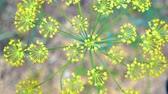 приправа : Close-up of dill inflorescence. Small yellow flowers of dill plant growing on a garden bed. View from above.