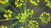 flower bed : Close-up of dill inflorescence. Small yellow flowers of dill plant growing on a garden bed. View from above.