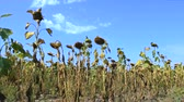 flower head : Sunflower field affected by drought against the blue sky.